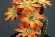 Virágzó kaktuszok és más szépségek...okt.1