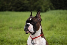 Holly the Boxer