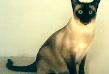 Siamese, My Favorite Cat! / These are  simply the best cats, I've have ever had.  / by Renee Hoskins 'Duarte'