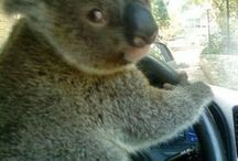 Funny Koala Pictures
