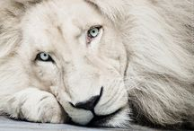Lions.... What's not to love? / Lions are majestic animals. They represent all that is regal and proud.