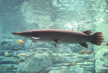 Alligator Gar / Stories and videos about the Alligator Gar