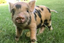 micro piggies, I need one in my life