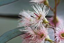 Aussie bush flowers