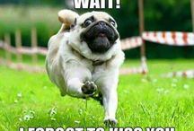 Crazy pug lady / Pugs make the world go around!