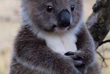 Koala-ty