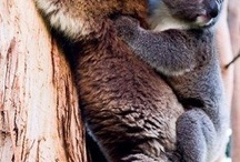 Australian Wildlife / The cute and cuddly Australian wildlife.