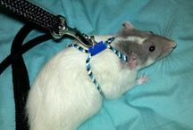 Rats Play Time