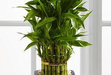 lucky bamboo / by Loziram