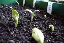 Growing - zucchini