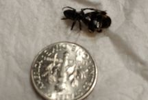 Instagram https://www.instagram.com/p/BTOx8FhDNRS/ April 23, 2017 at 10:18AM Super ant found today in the bathroom. #bugs #mutants #braindeadtvshow. #scary!