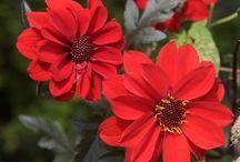 Dahlia - Peony Flowering