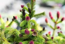 &MINI TREES / Keep your garden evergreen with miniature trees all year long.
