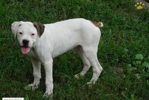 Boxer Beauty / http://www.buckeyepuppies.com/puppies-for-sale-bep/boxer