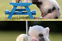 Pig / Pig collection.