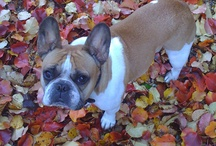 All things Frenchie- French Bulldogs