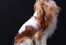 cavalier king spaniel