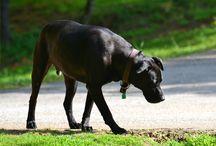 Labrador Retrievers / I have a 9 year old Black Lab, and I love this fine specimen. Hope you do too!