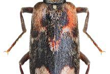 agnathidae