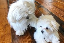 Maltese adorable dogs....they look like  my Sydney & Khloe ...