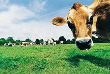 :: cow, boys&girls ::