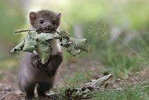 Weasel/Marten/Ferret