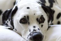 Dog, Pets