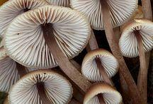 Fungi - Cogumelos