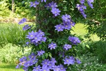 Climbing Plants / Inspiration, ideas and tips for growing beautiful climbing plants.