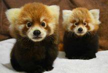 Rode panda,s