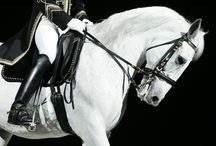 Lipizzan Horse Breed