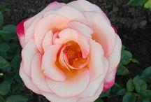 Růže z mojí zahrádky