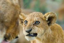 Animal's cubs