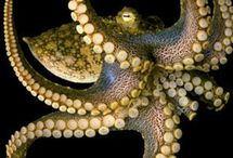 study of octopi / by Blissfully Essential Organics