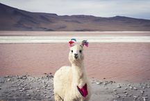 Chile fauna