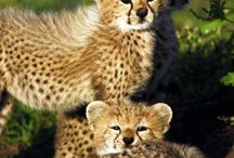 Cheetahs / In honor of my favorite animal / by Beth Dempsey