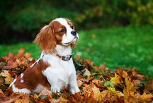 Animals: Dogs - Cavelier King Charles Spaniel / by Wendy Wierenga