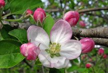 Apple Blossom / I love apple blossom, it is here for such a short few weeks but when it is it's magnificent