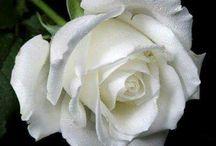 róże białe z kolorem