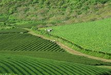 Green tea hills in Moc Chau / Mộc Châu is a rural district of the Sơn La Province in the Northwest region of Vietnam. People often think of stretching tea hills which have become an endless inspiration for photographers and tourists. Check out the pics below to explore the beauty of the real Mộc Châu city of Vietnam. http://www.tuanlinhtravel.com/