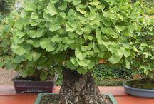 Lindos bonsai.
