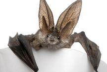 *BatS*