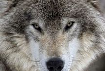 волки и др.