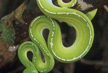 Snake..sstt....ssstt...