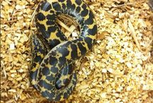 Kenyan Sand Boas / For our full selection of Kenyan Sand Boas visit: http://bhb-reptiles.myshopify.com/collections/boas
