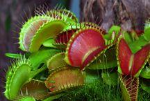 Vleesetende planten/ Carnivorous plant