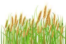 Зерновые культуры картинки