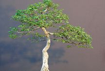 árboles bonsái