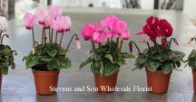 Plants / All of the Plants you see are sold at Stevens and Son Wholesale Florist in Arvada, Colorado. They delivery locally and out of state within the United States Territory,