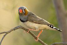 John Lewis / Aviary Birds